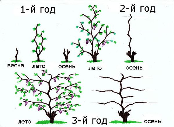 Обрезка винограда в зависимости от возраста