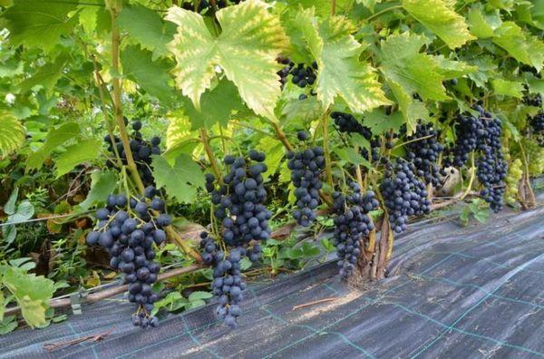 Швейцарский виноград Мускат Блау