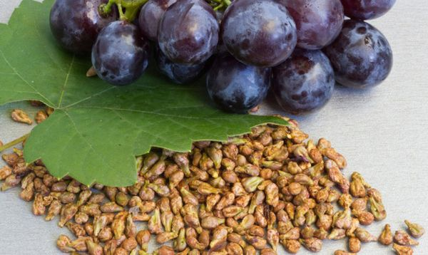 Вырастить виноград из маленькой косточки очень сложно