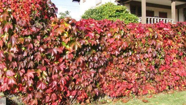 Девичий виноград проводит зиму без дополнительного укрытия