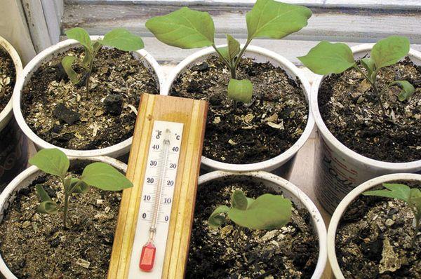 Выращивание рассады баклажанов происходит в тепле