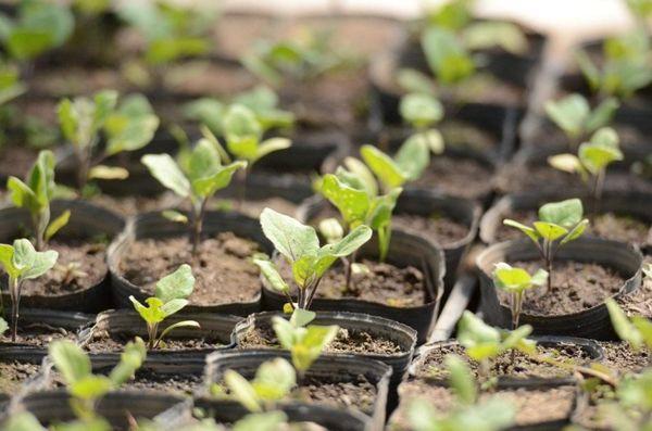 Росточки появляются через 10–15 дней после посева