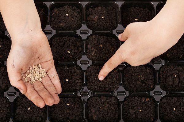 Посадка помидоров семенами происходит в разные емкости