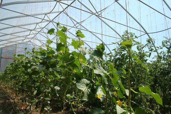 Огурцы в теплице выращивают на шпалерах