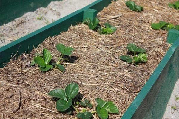 Хотите получить высокий урожай ягод весной, позаботьтесь о нем с осени. Правильный осенний уход за клубникой