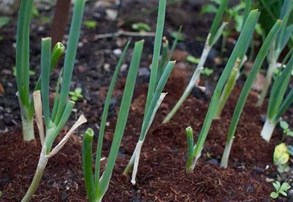 Для батуна подходит почва с высоким процентом гумуса