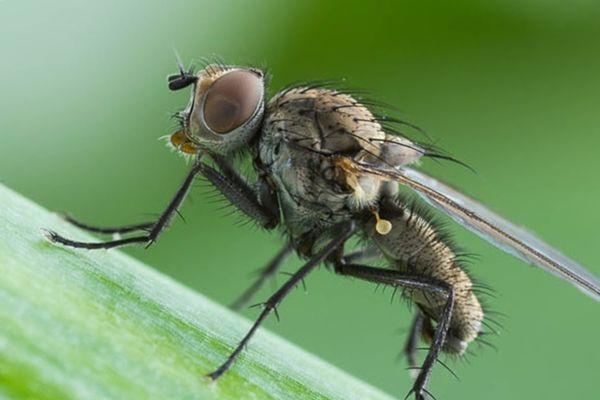 Луковая муха - опасный вредитель