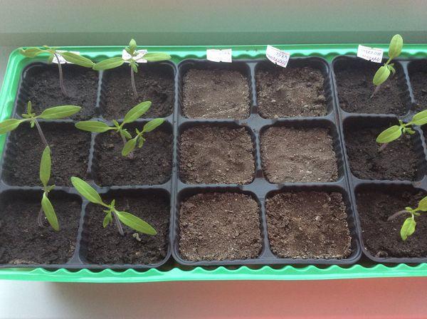 Рассаду помидоров необходимо поливать теплой водой