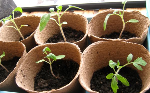 Рассада томатов прекрасно растет в рыхлой питательной земле
