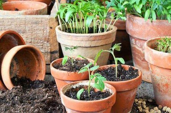 Рассада томатов для посадки