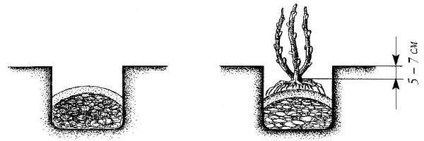 Правила посадки смородины