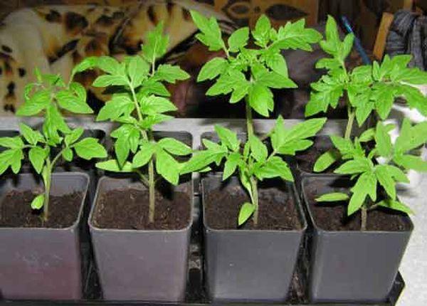 Томаты предполагают посев на рассаду