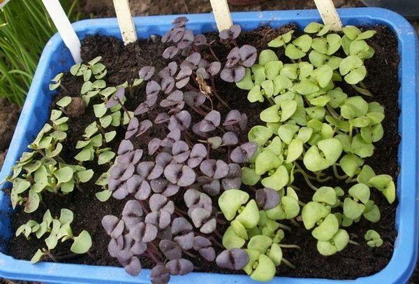 Выращивание базилика семенами