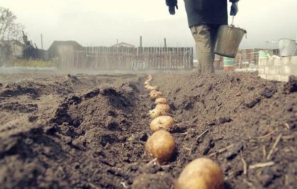 Посадку картошки нужно проводить по лунному календарю