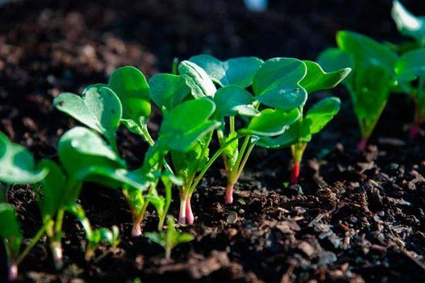 Рассаду редиса можно готовить в домашних условиях