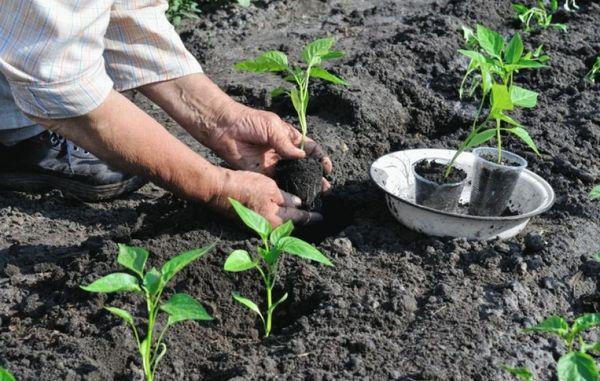 Рассаду перцев пересаживают в открытый грунт через 60–80 дней