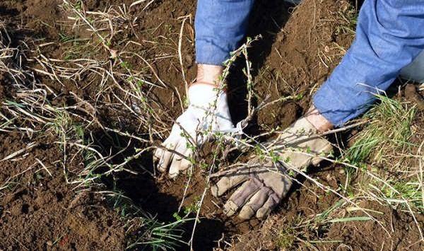 Пересаживать крыжовник можно весной и осенью