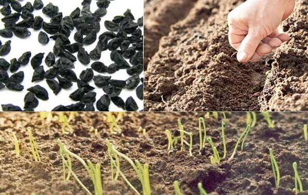 Сажать лук можно семенами