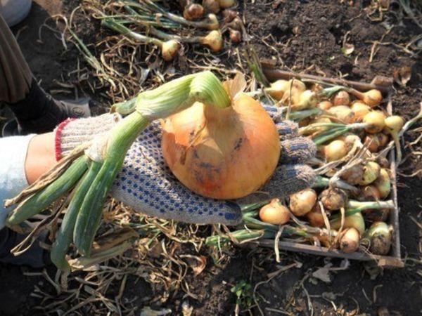 Лунный календарь помогает вовремя собирать урожай