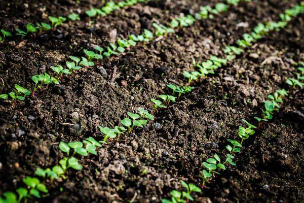 Семена могут прорасти уже на 3–4 день после посадки