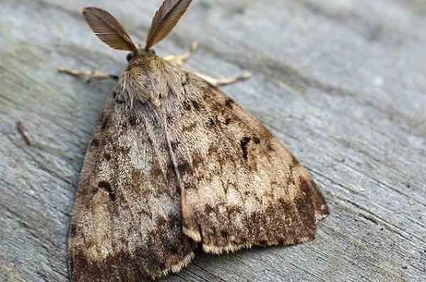 Непарный шелкопряд имеет вид гусеницы и бабочки ночного типа