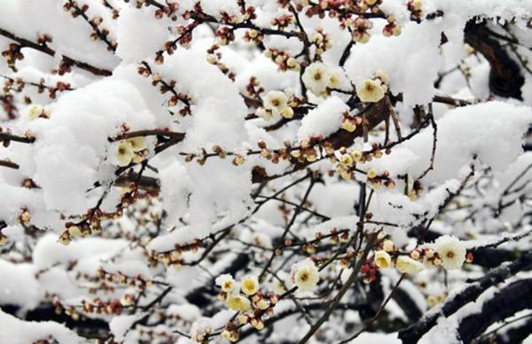 Подмерзание в период цветения может привекти к плохому урожаю
