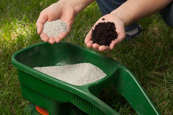 Чтобы слива не осыпалась стоит постоянно вносить органику и минеральные удобрения