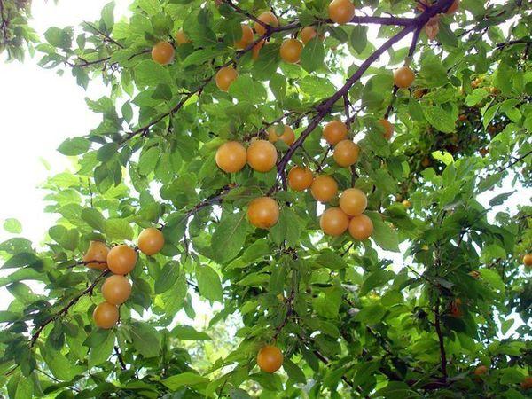 Алыча - источник витаминов и микроэлементов
