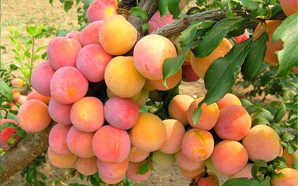 Популярный сорт Скороплодная
