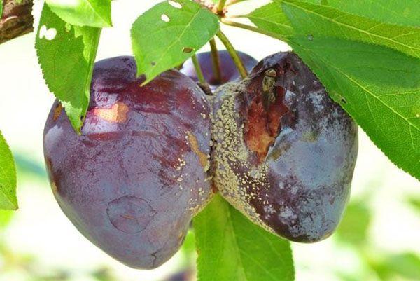 Плодовая гниль похожа на монилиоз