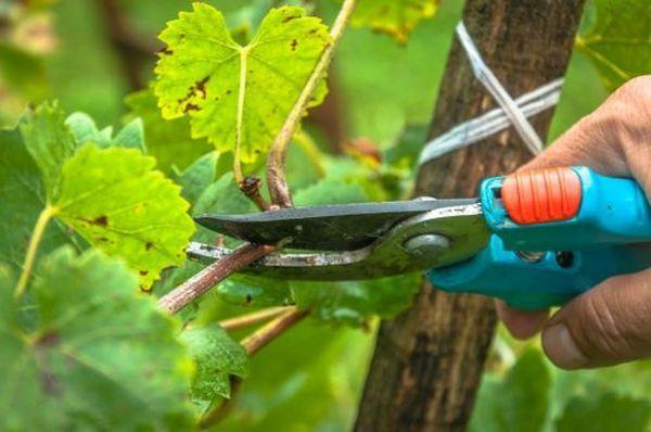 Обрезка винограда - обязательная процедура