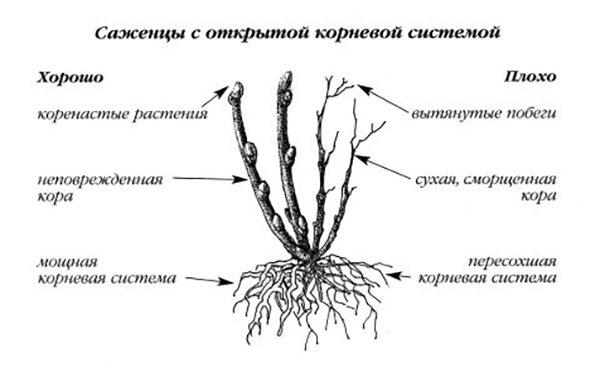 Саженцы с открытой корневой системой