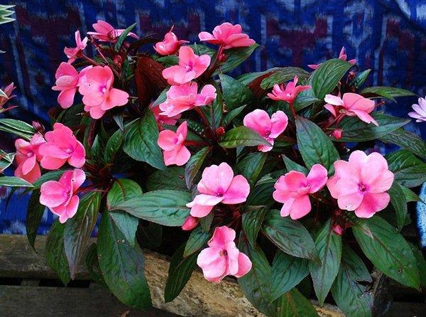 Неприхотливое комнатное растение Бальзамин