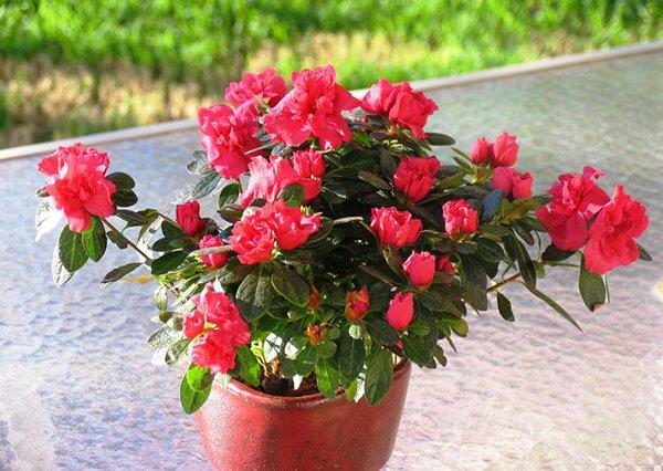 Азалия может цвести целый год