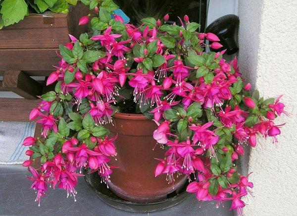 Фуксия – популярное красивое комнатное растение