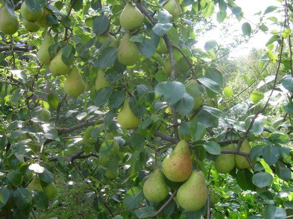 Средний вес плода варьируется в пределах 150–250 г,