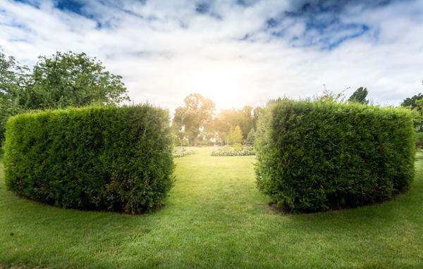 Живая изгородь украсит любой участок