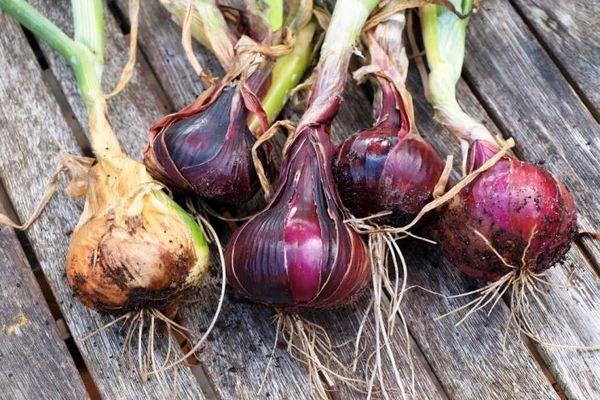Репчатый лук является одной из основных овощных культур