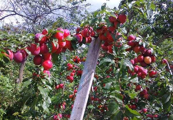 Персиковая слива плодоносит только на солнечном участке