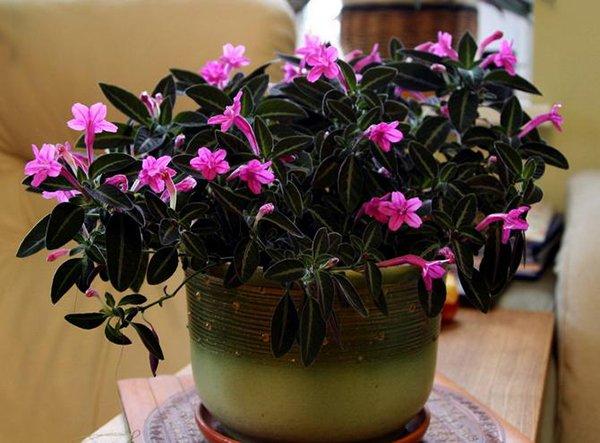 Вечнозеленое комнатное растение Руэллия
