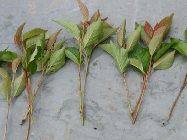 Зеленые черенки шелковицы