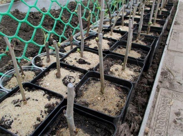 Одревесневшие черенки шелковицы