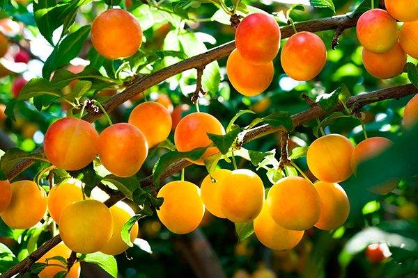 Яхонтовая слива имеет желтые плоды