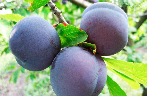 Плоды Заречной ранней характеризуются крыпными размерами