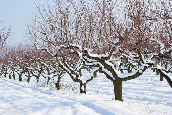 Утепление абрикоса зависит от региона, в котором он растет