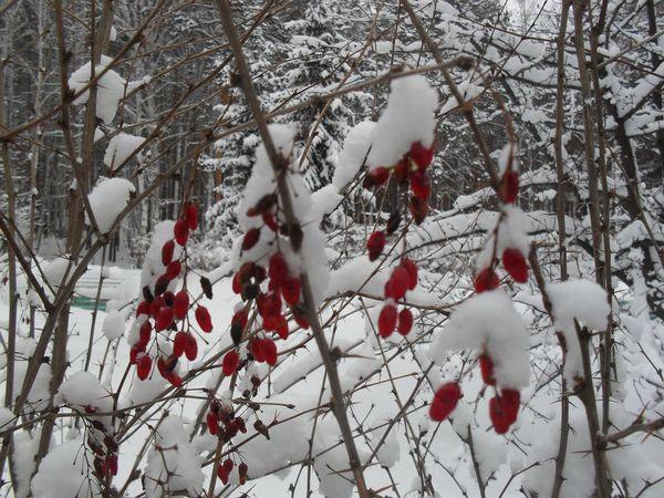 Кустарник барбариса нужно защитить от морозов