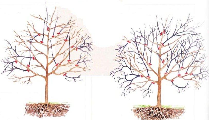 Осенняя обрезка черешневого дерева