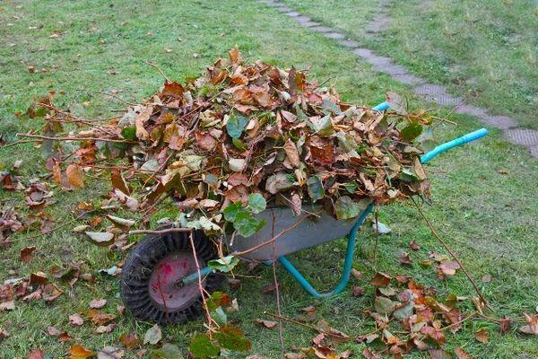 Укрыть чеснок можно обычным опавшим листьям