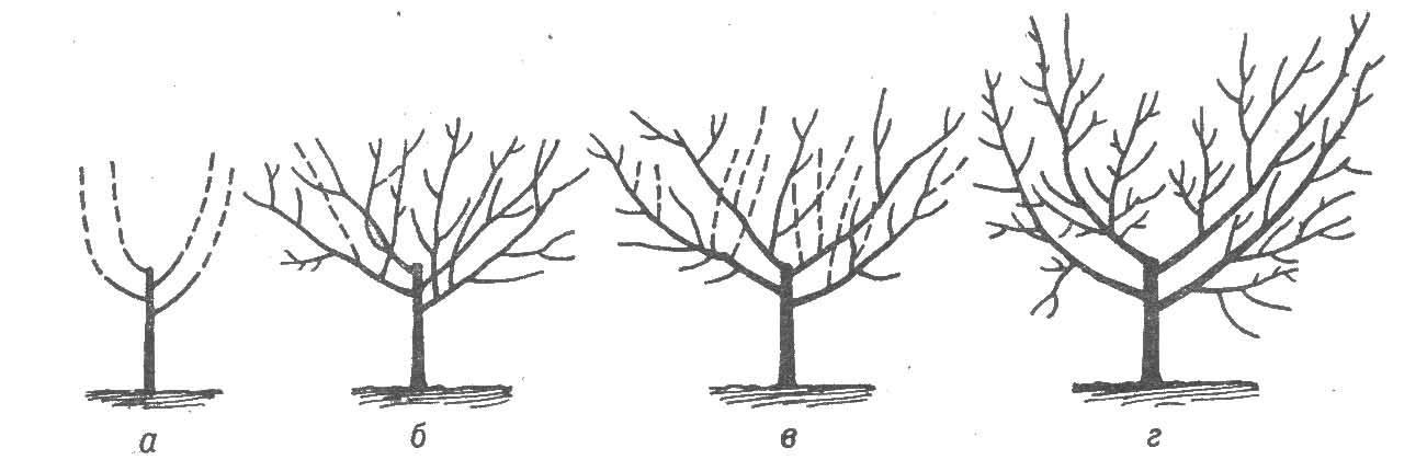 Формирование и обрезка персика осенью