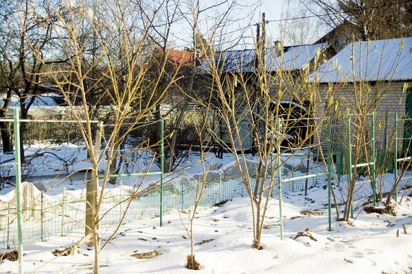 Зимовка зимостойких сортов персика